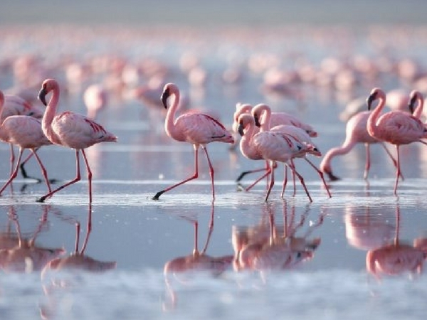 Flamingos on the Ria Formosa